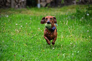 dog- tennis ball